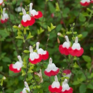 Salvia greggii 'Hot Lips