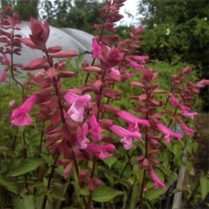 Salvia  'Kisses & Wishes'