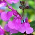 Salvia  'Lalarsha'