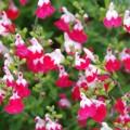Salvia greggii 'Little Kiss'
