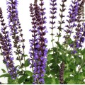 Salvia nemorosa 'Merleau Blue'