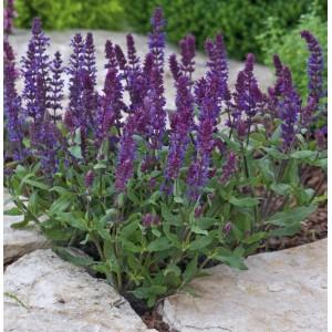 Salvia nemorosa 'New Dimension Blue'
