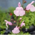 Salvia  'Peter Vidgeon'