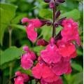 Salvia  'Pink Pong'