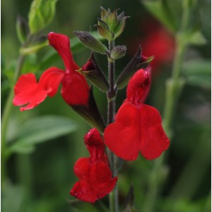 Salvia  'Radio Red'