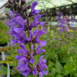 Salvia pratensis 'Rhapsody in Blue'