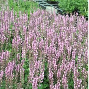 Salvia nemorosa 'Salute Light Pink'