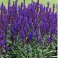 Salvia nemorosa 'Salvatore Blue'