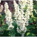 Salvia sclarea 'Vatican White'