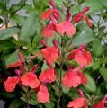 Salvia  'Wine & Roses'