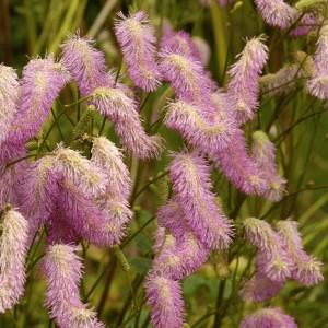 Sanguisorba hakusanensis 'Pink Brushes'