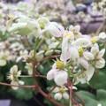 Saxifraga fortunei 'Gelbes Monster'