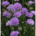 Scabiosa columbaria 'Flutter Deep Blue'