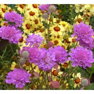 Scabiosa columbaria 'Vivid Violet'