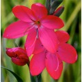 Schizostylis  'Oregon Sunset'