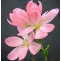 Schizostylis  'Simply Pink'