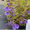 Scutellaria scordifolia