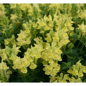 Scutellaria suffrutescens 'Sherbert Lemon'