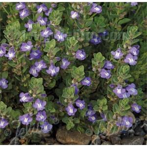 Scutellaria resinosa 'Smoky Hills'