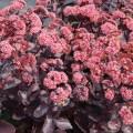 Sedum telephium 'Cherry Truffle'