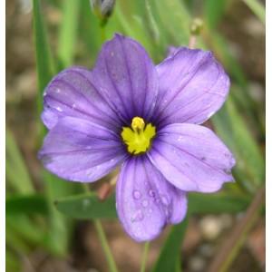Sisyrinchium  'Sapphire'