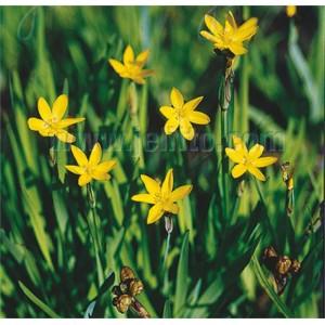 Sisyrinchium californicum 'Yellow Stone'
