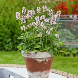 Stachys  'Summer Sweets'