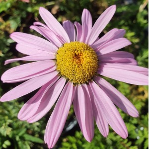 Tanacetum  'Robinson's Pink'