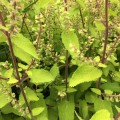 Teucrium scorodonia 'Binstead Gold'