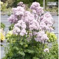 Thalictrum  'Nimbus Pink'