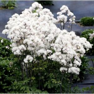 Thalictrum  'Nimbus White'