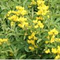 Thermopsis rhombifolia montana