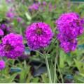 Verbena rigida 'Fliederblau' (Lilac Blue)