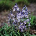 Veronica gentianoides 'Little Blues'