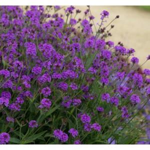 Verbena rigida 'Santos Purple'
