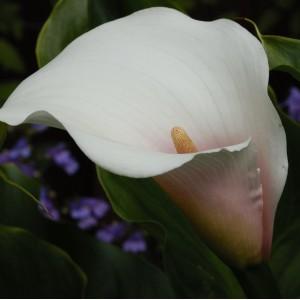 Zantedeschia aethiopica 'Marshmallow'